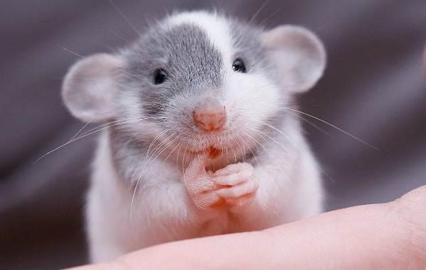 Крыса-дамбо-Описание-особенности-виды-уход-и-цена-крысы-дамбо-3