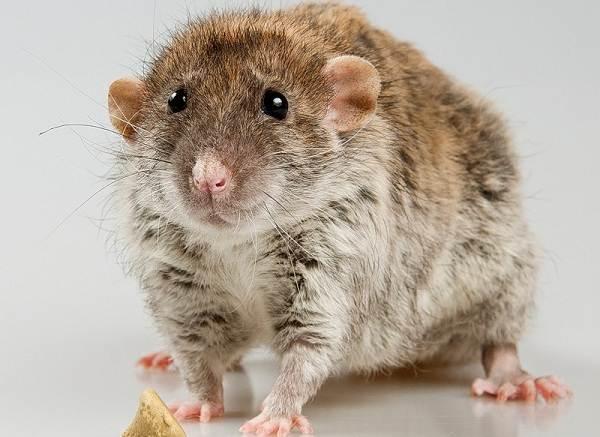 Крыса-дамбо-Описание-особенности-виды-уход-и-цена-крысы-дамбо-4