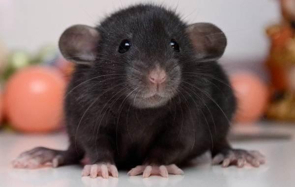 Крыса-дамбо-Описание-особенности-виды-уход-и-цена-крысы-дамбо-6