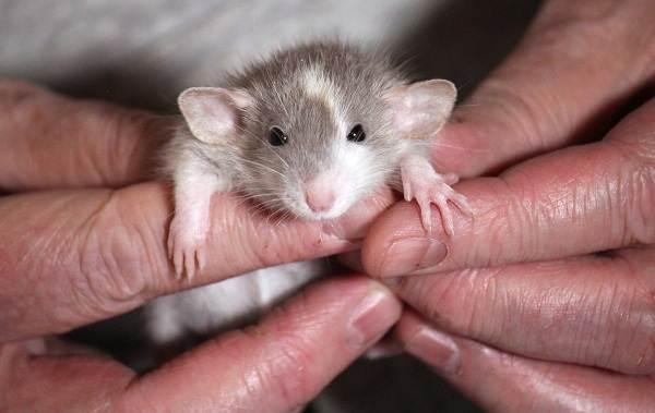 Крыса-дамбо-Описание-особенности-виды-уход-и-цена-крысы-дамбо-7