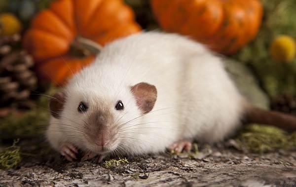 Крыса-дамбо-Описание-особенности-виды-уход-и-цена-крысы-дамбо-9