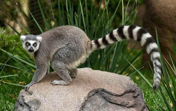 Лемур-животное-Описание-особенности-виды-образ-жизни-и-среда-обитания-лемура-10