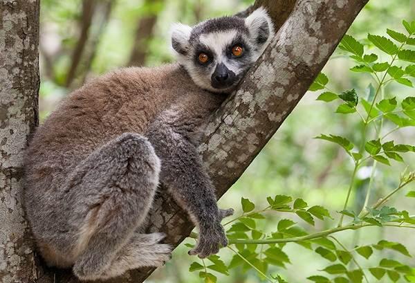 Лемур-животное-Описание-особенности-виды-образ-жизни-и-среда-обитания-лемура-11