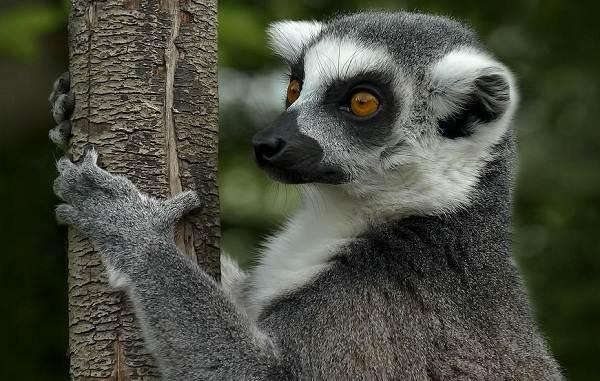 Лемур-животное-Описание-особенности-виды-образ-жизни-и-среда-обитания-лемура-12