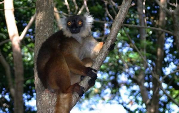 Лемур-животное-Описание-особенности-виды-образ-жизни-и-среда-обитания-лемура-13-1