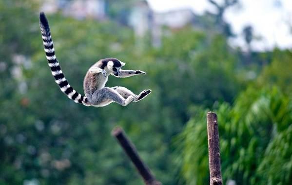 Лемур-животное-Описание-особенности-виды-образ-жизни-и-среда-обитания-лемура-14