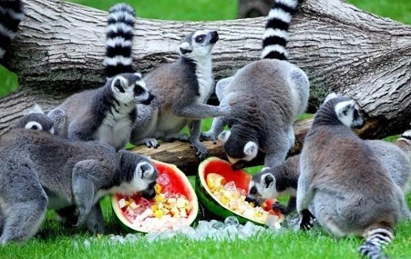 Лемур-животное-Описание-особенности-виды-образ-жизни-и-среда-обитания-лемура-15