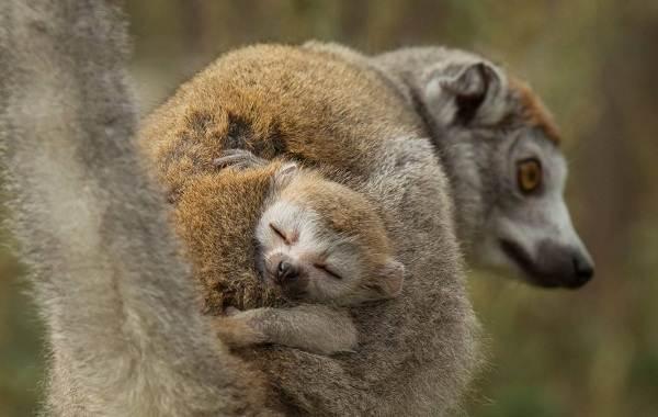 Лемур-животное-Описание-особенности-виды-образ-жизни-и-среда-обитания-лемура-19