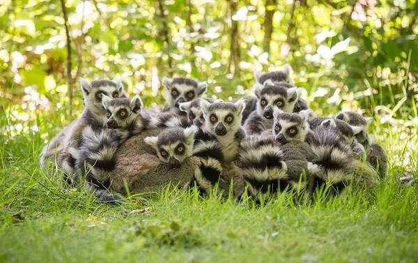 Лемур-животное-Описание-особенности-виды-образ-жизни-и-среда-обитания-лемура-2