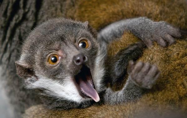 Лемур-животное-Описание-особенности-виды-образ-жизни-и-среда-обитания-лемура-20
