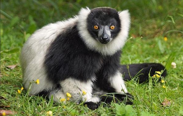 Лемур-животное-Описание-особенности-виды-образ-жизни-и-среда-обитания-лемура-24