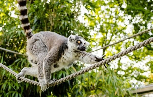 Лемур-животное-Описание-особенности-виды-образ-жизни-и-среда-обитания-лемура-3