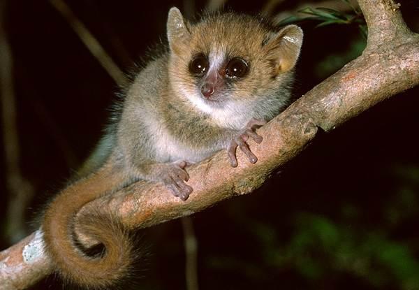 Лемур-животное-Описание-особенности-виды-образ-жизни-и-среда-обитания-лемура-7
