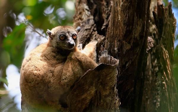 Лемур-животное-Описание-особенности-виды-образ-жизни-и-среда-обитания-лемура-9