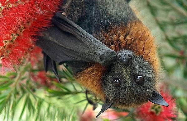 Чем отличается летучая мышь от летучей собаки?