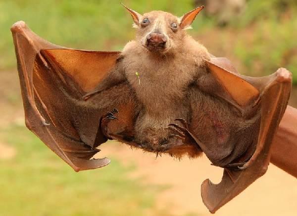 Летучая-собака-Описание-особенности-виды-образ-жизни-и-среда-обитания-летучих-собак-4