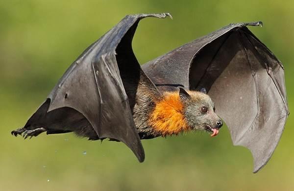 Летучая-собака-Описание-особенности-виды-образ-жизни-и-среда-обитания-летучих-собак-5