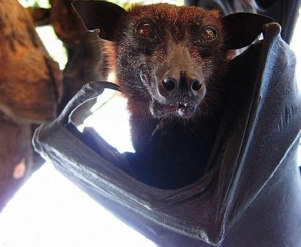 Летучая-собака-Описание-особенности-виды-образ-жизни-и-среда-обитания-летучих-собак-7