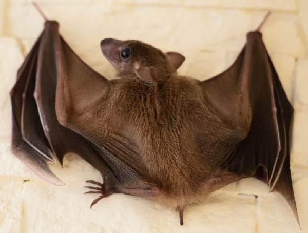 Летучая-собака-Описание-особенности-виды-образ-жизни-и-среда-обитания-летучих-собак-8