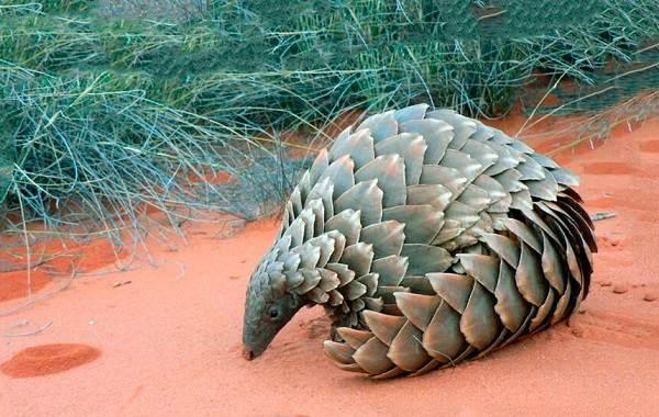 Панголин-животное-Описание-особенности-виды-образ-жизни-и-среда-обитания-панголина-10