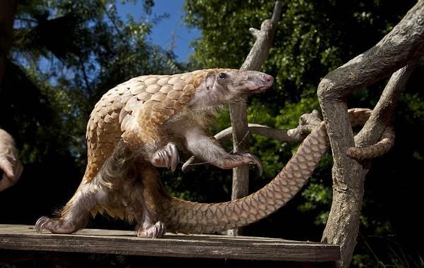 Панголин-животное-Описание-особенности-виды-образ-жизни-и-среда-обитания-панголина-12
