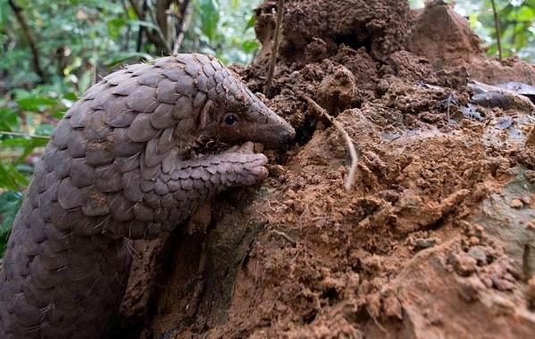 Панголин-животное-Описание-особенности-виды-образ-жизни-и-среда-обитания-панголина-13