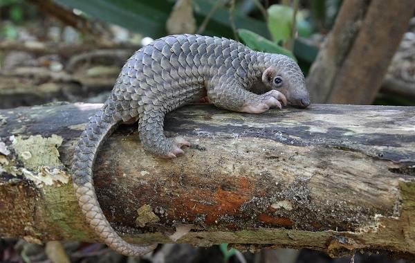 Панголин-животное-Описание-особенности-виды-образ-жизни-и-среда-обитания-панголина-15
