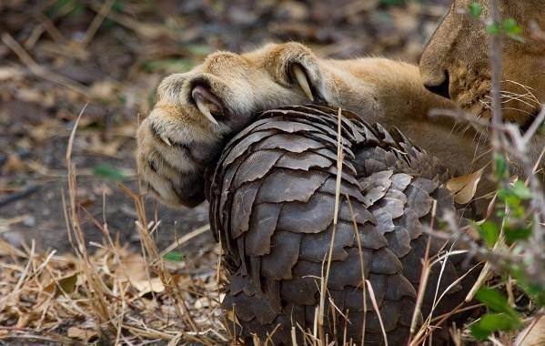 Панголин-животное-Описание-особенности-виды-образ-жизни-и-среда-обитания-панголина-17