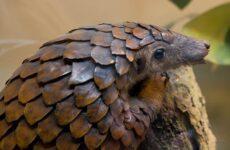 Панголин животное. Описание, особенности, виды, образ жизни и среда обитания панголина