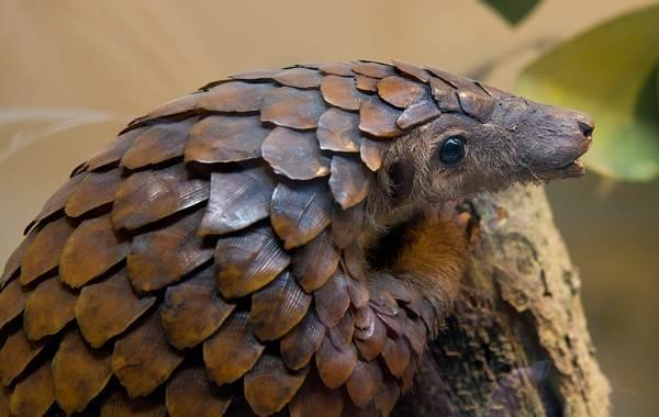 Панголин-животное-Описание-особенности-виды-образ-жизни-и-среда-обитания-панголина-18