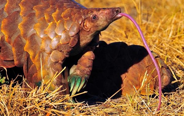 Панголин-животное-Описание-особенности-виды-образ-жизни-и-среда-обитания-панголина-22
