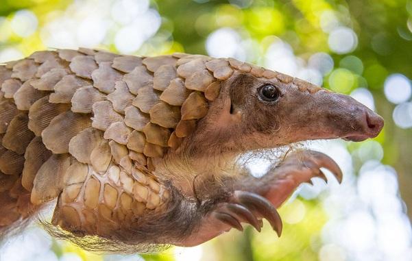 Панголин-животное-Описание-особенности-виды-образ-жизни-и-среда-обитания-панголина-23