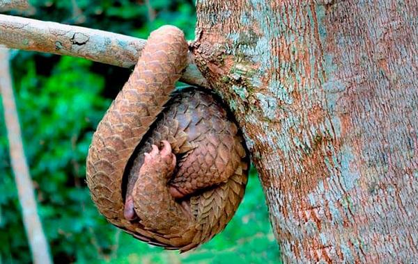 Панголин-животное-Описание-особенности-виды-образ-жизни-и-среда-обитания-панголина-24