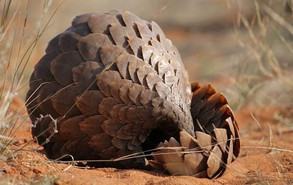Панголин-животное-Описание-особенности-виды-образ-жизни-и-среда-обитания-панголина-3