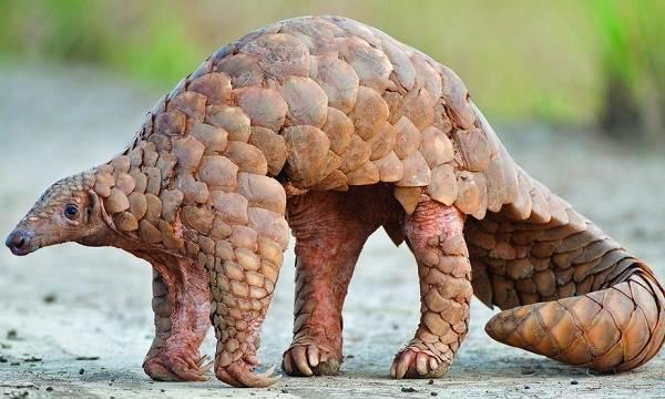 Панголин-животное-Описание-особенности-виды-образ-жизни-и-среда-обитания-панголина-4