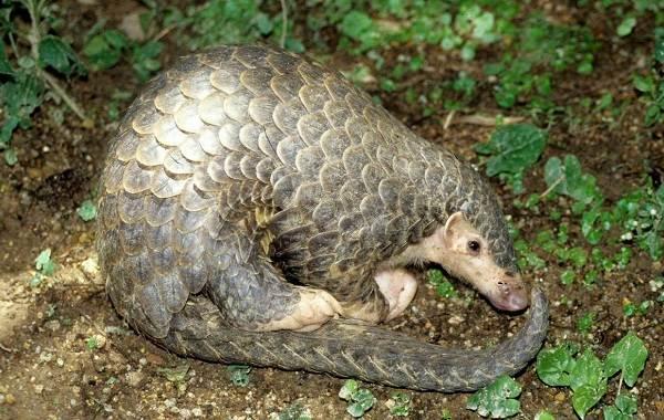 Панголин-животное-Описание-особенности-виды-образ-жизни-и-среда-обитания-панголина-5