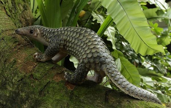 Панголин-животное-Описание-особенности-виды-образ-жизни-и-среда-обитания-панголина-8