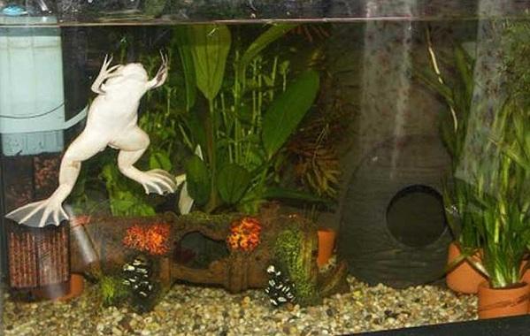 Шпорцевая-лягушка-Описание-особенности-уход-и-содержание-шпорцевой-лягушки-12