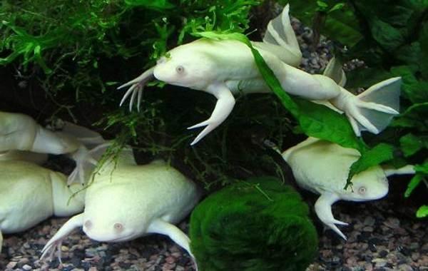 Шпорцевая-лягушка-Описание-особенности-уход-и-содержание-шпорцевой-лягушки-3