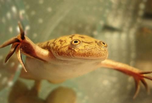 Шпорцевая-лягушка-Описание-особенности-уход-и-содержание-шпорцевой-лягушки-6