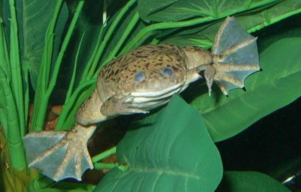 Шпорцевая-лягушка-Описание-особенности-уход-и-содержание-шпорцевой-лягушки-9
