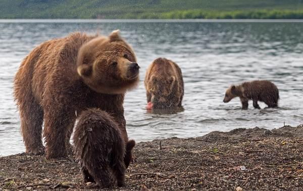 Виды-медведей-Описание-названия-и-особенности-медведей-12