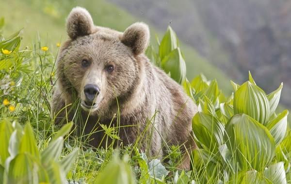 Виды-медведей-Описание-названия-и-особенности-медведей-15