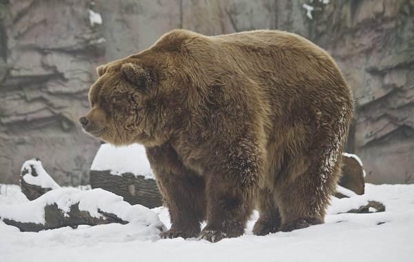 Виды-медведей-Описание-названия-и-особенности-медведей-18