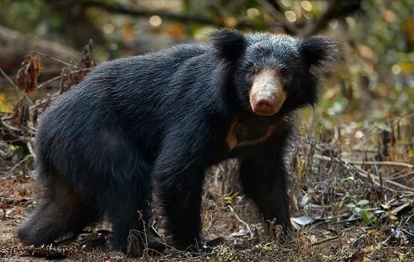 Виды-медведей-Описание-названия-и-особенности-медведей-20