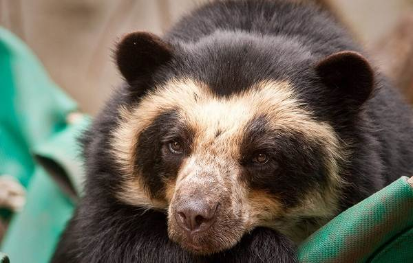 Виды-медведей-Описание-названия-и-особенности-медведей-23