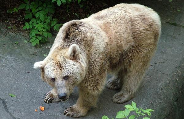 Виды-медведей-Описание-названия-и-особенности-медведей-31