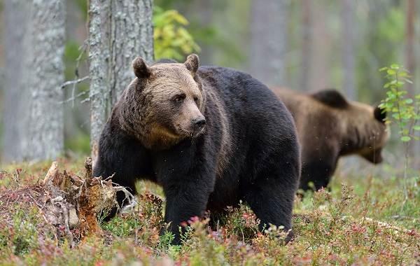 Виды-медведей-Описание-названия-и-особенности-медведей-9