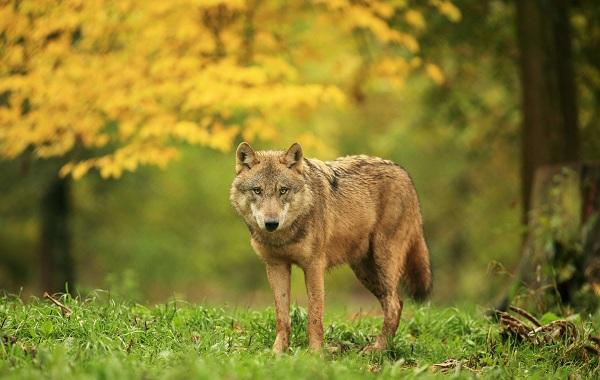 Волк-животное-Описание-особенности-образ-жизни-и-среда-обитания-волка-1