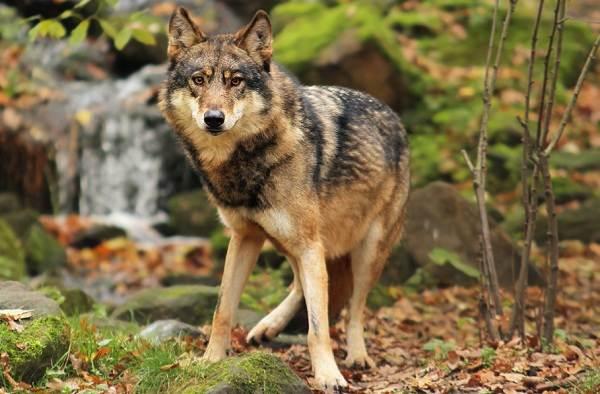 Волк-животное-Описание-особенности-образ-жизни-и-среда-обитания-волка-10